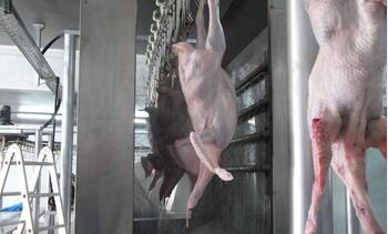 Automatic chicken plucking machine halal poultry slaughter equipment